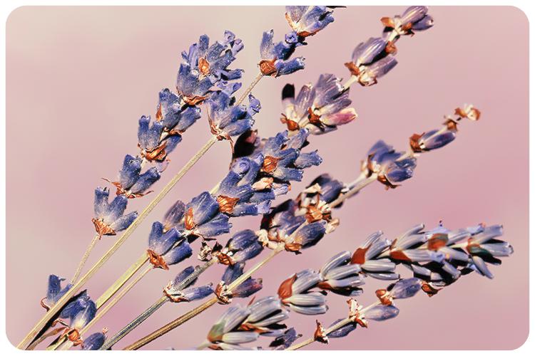 duftpflanze des jahres 2016 lavendel