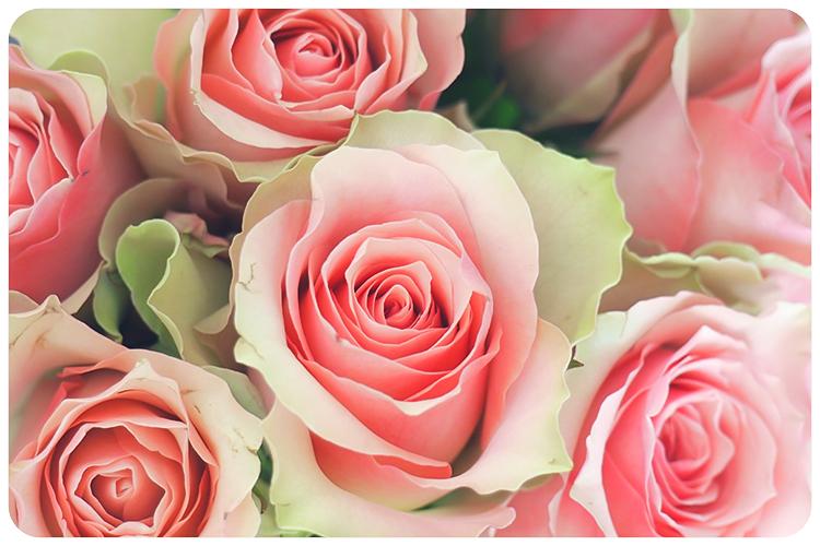 duftpflanze des jahres 2017 rose