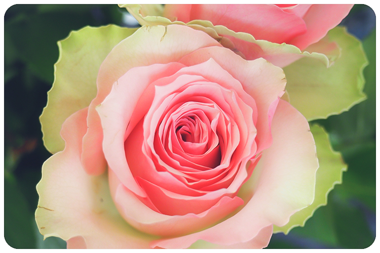 duftpflanze des jahres 2017 rose2-2