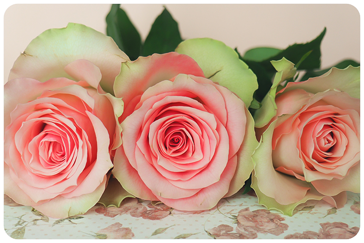 duftpflanze des jahres 2017 rose4