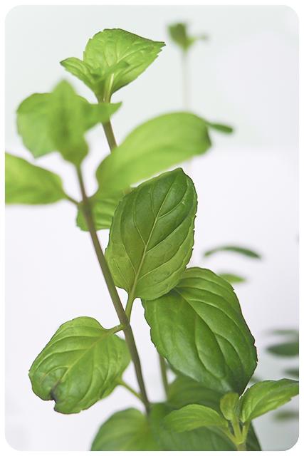 Duftpflanze des Jahres 2018