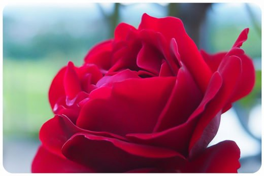 Dr Hauschka Rose