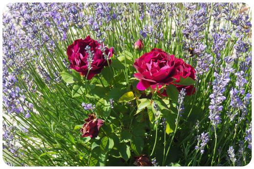 primavera lavendel rose